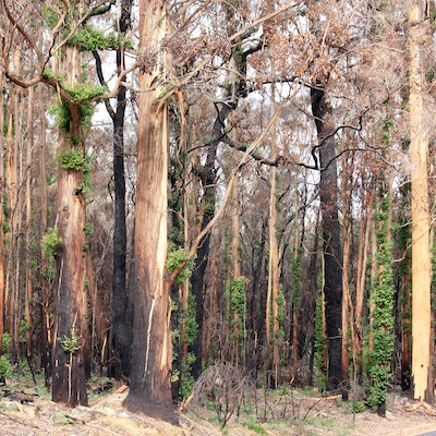 Karri Regrowth after the fires