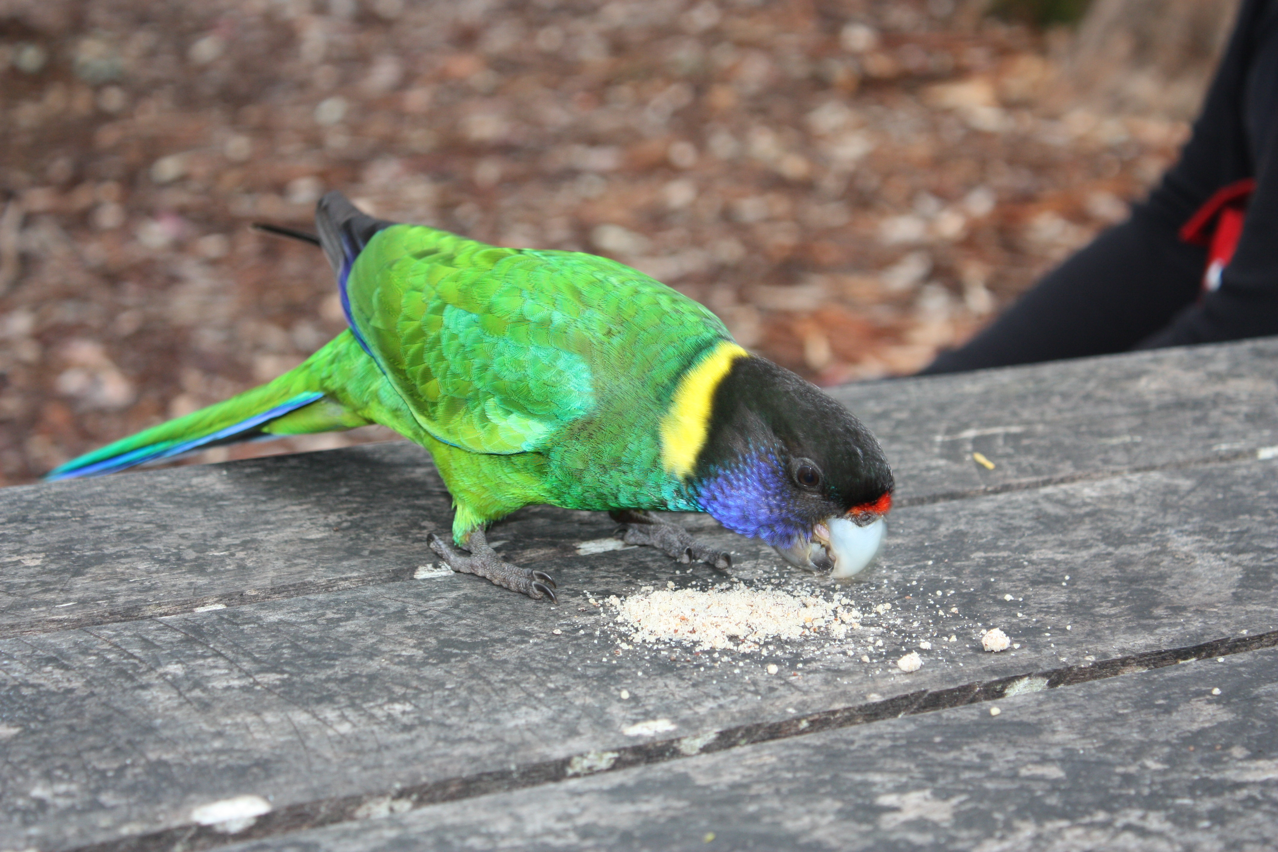 Parrot at Gloucester Tree