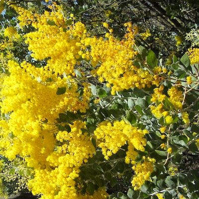 Golden Wattle, Collie