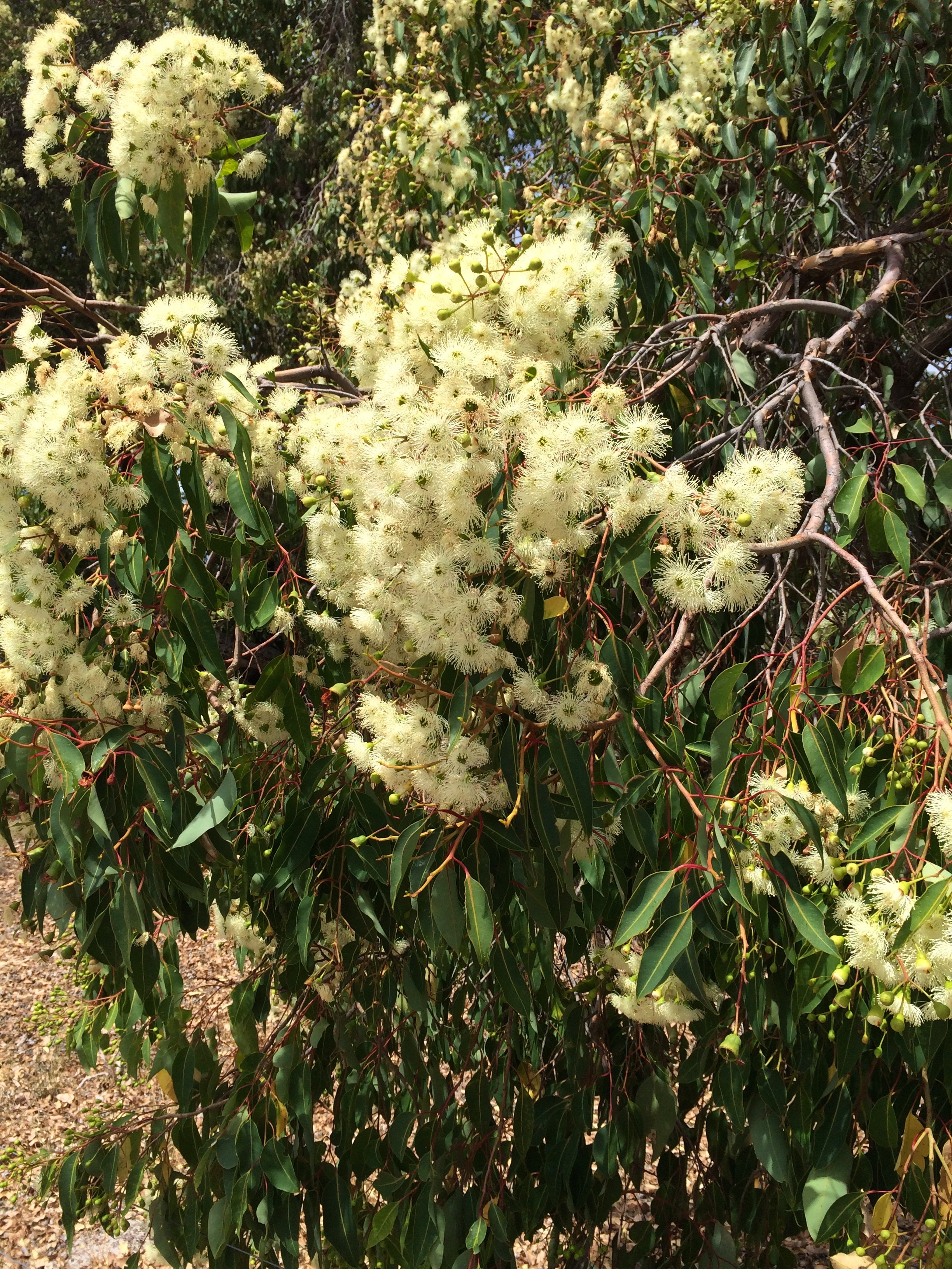 If the jarrah trees are flowering, it's too hot to ride!