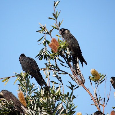 White tailed black Cockatoos feeding on Banksia flowers