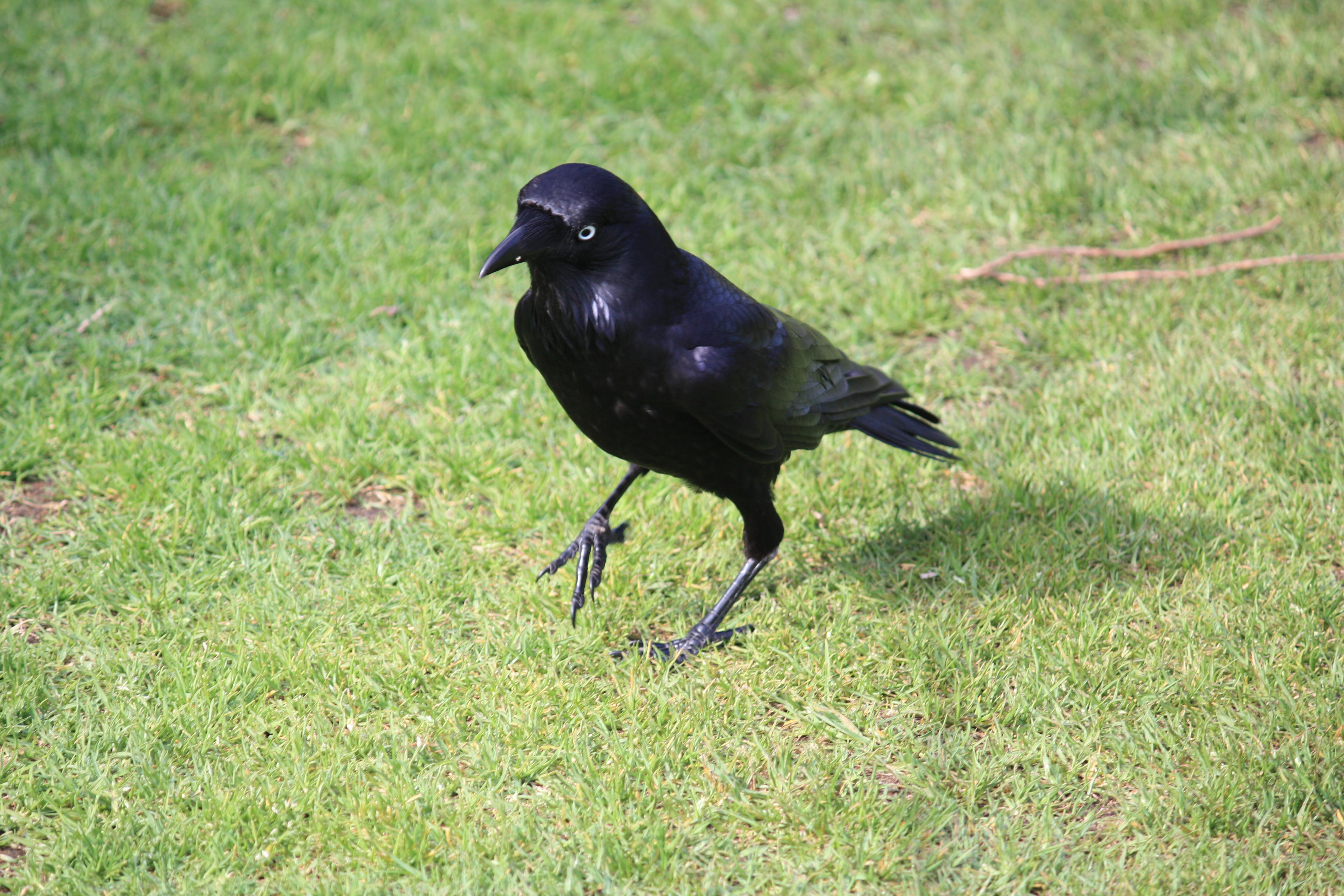Crow (actually it's a little raven)