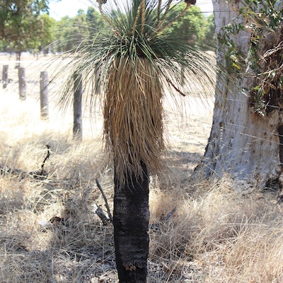 Grass tree near Pinjarra