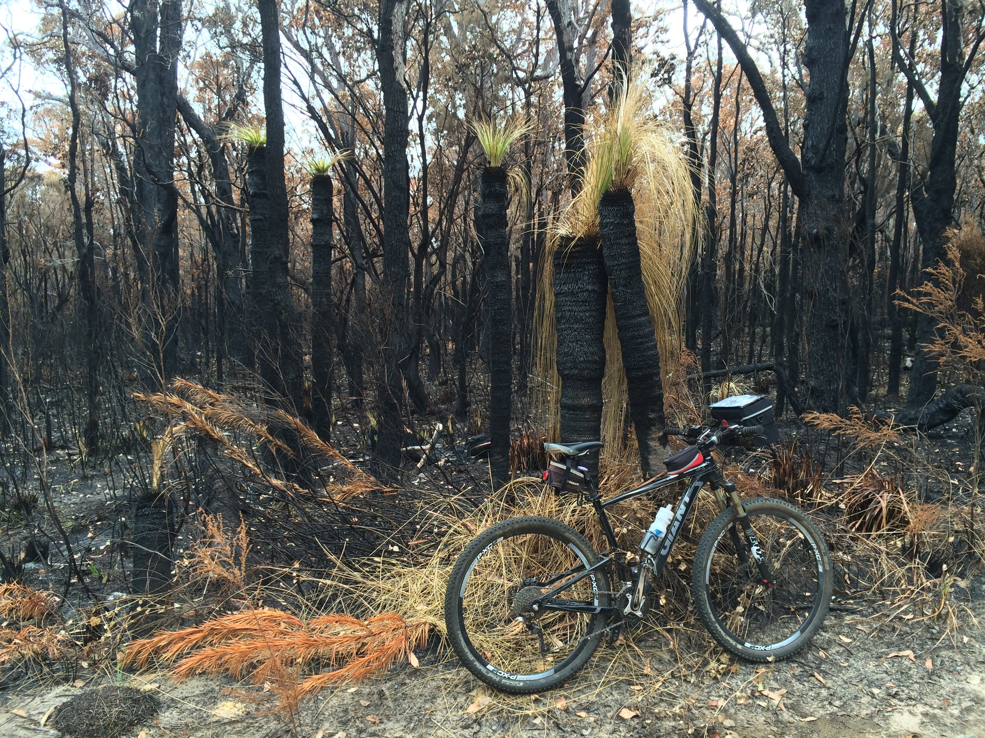 Burnt grass trees